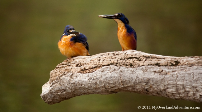 Azure Kingfishers Sharing Fish